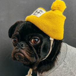 pug wearing hat looking at camera